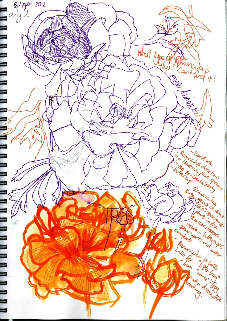 Gillian Cook - A Flower a Day Project  Day 3 - Ranunculus - line drawings, colour
