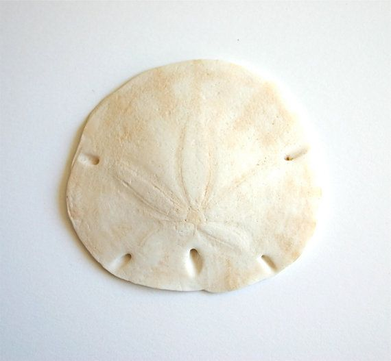 Edible Sand Dollars 3  Cake Decoration or by andiespecialtysweets, $23.00