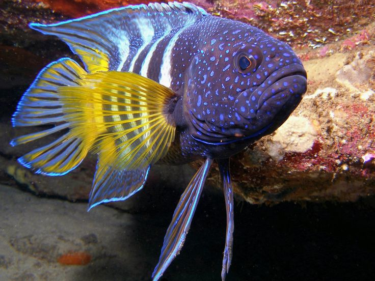 18 best freshwater aquarium fish cichlids images on for Colorful freshwater aquarium fish