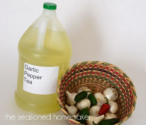 Strain out solids and add enough water to make a gallon of Garlic Pepper Tea Concentrate.