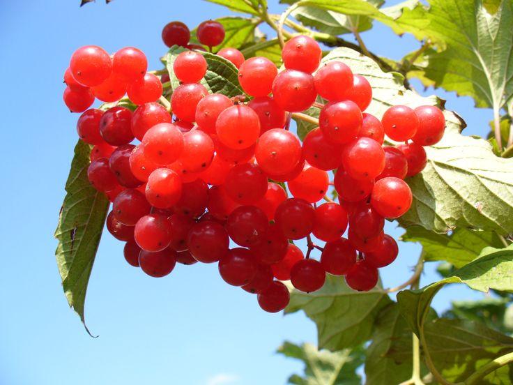 Калина — кладовая витаминов и полезных веществ — 6 соток