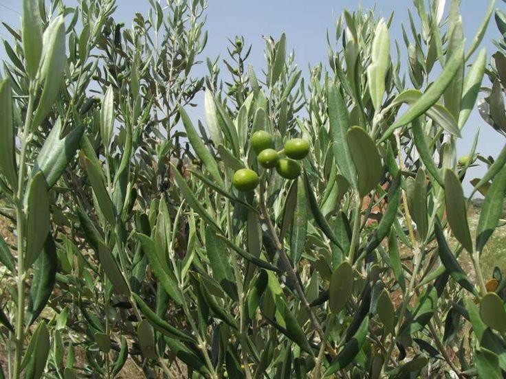 Zeytinlerimiz (Zeytin ağacı.jpg)