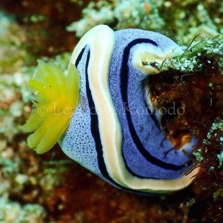 Good morning! Hang in there, weekend is around the corner... #komodo #labuanbajo #nudibranch #beautiful #colors #macro #scuba #livetoscuba #scubadiving #divecenter #lovemyjob #uwphotography #macrophotography #macro_captures #travel #holiday #wanderlust #waterlust #explore #ocean #reef #coral #marinelife #oceanlove #instapic #instadive #instadaily #exploremore #nofilter
