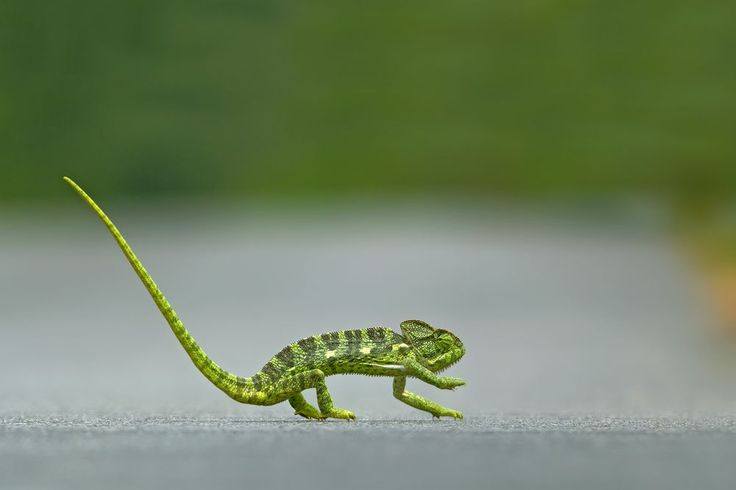 This beautiful indian chameleon was found on my way to my birding spot. I hardly got a 30 seconds to get out of the car and capture it.