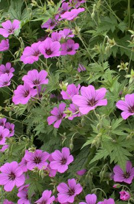 Geranium Patricia AGM Pinkish magenta.  H 70cm  Full Su/partial shade best, shade tolerated