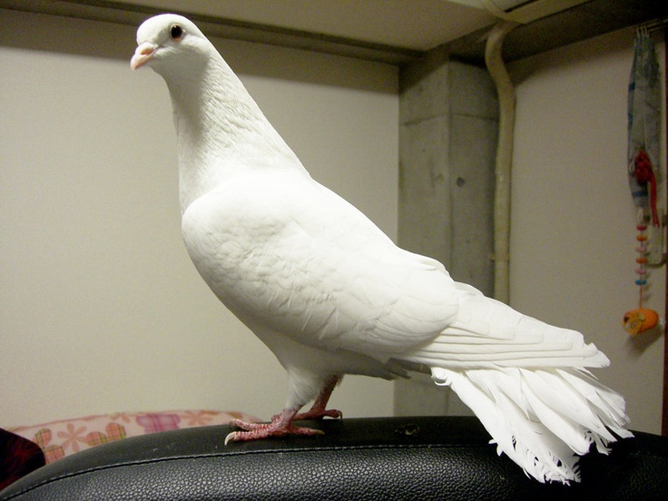 white pigeon online dating Pigeons - everything there is to know about the pigeon  although images of the pigeon have been found dating as far.
