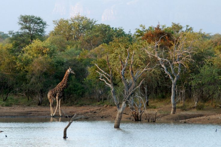 Giraffe besides a lake at Zandspruit Estate | Hoedspruit | South Africa