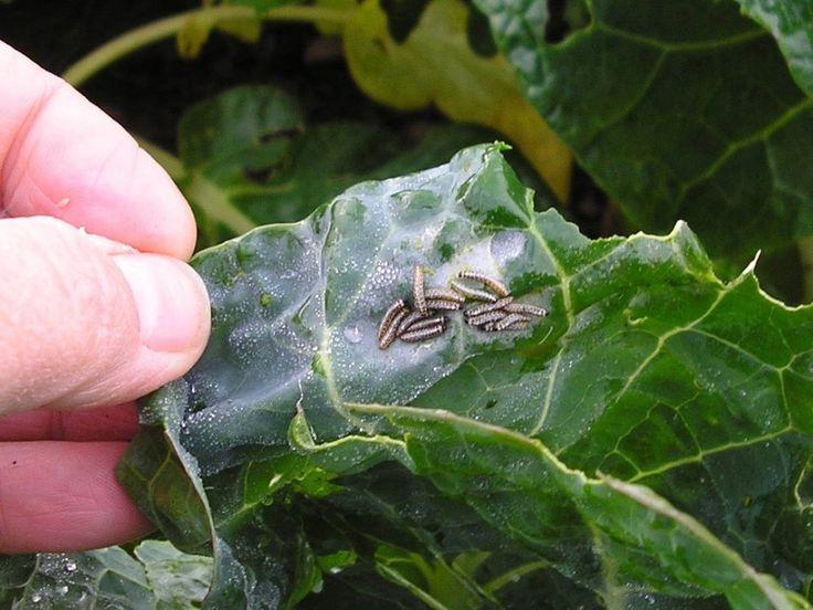 Применение пестицидов от насекомых вредителей