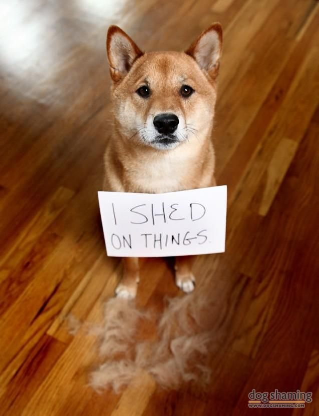 635 Best Images About Shiba Inus On Pinterest Sleep