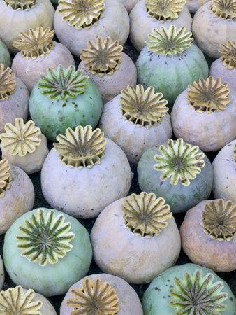 Dried and Green Poppy Seed Heads Fotoprint van Darrell Gulin - bij AllPosters.be