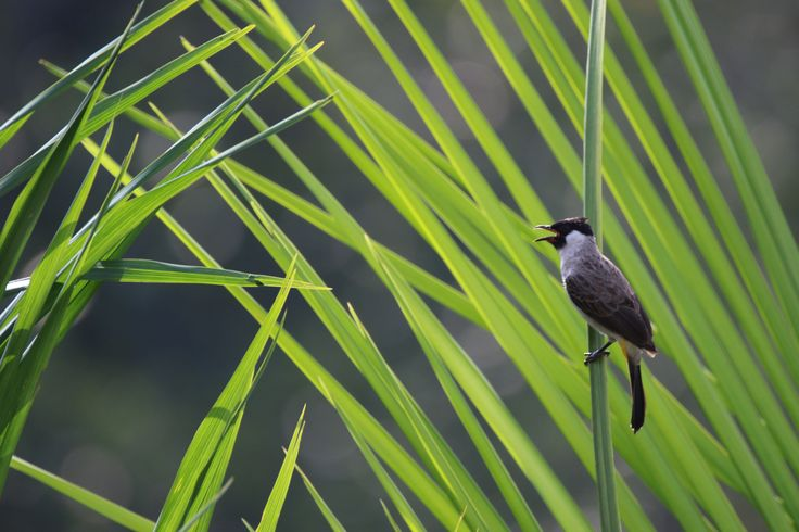 a yellow-vented bulbul