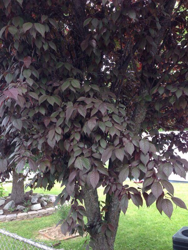 Cherry Plum Prunus Cerasifera This Appears To Be A Purple Leaf Plum Known A Cherry Plum Can Grow 30 Ft High And Purple Plum Tree Specimen Trees Plum Tree