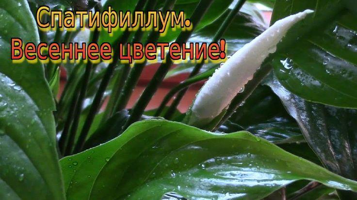 Спатифиллум.  Весеннее пробуждение цветка!
