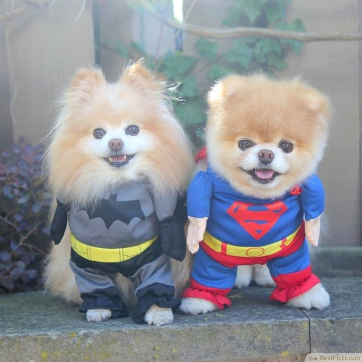 Simple Boo Chubby Adorable Dog - f820f07b8e98f3e934b700182dd8bab0--twin-costumes-hero-costumes  Pictures_419136  .jpg