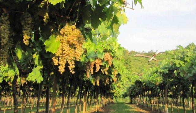 Strada del Soave lancia: Adotta una Garganega! Ora puoi diventare viticoltore adottivo http://www.vinievino.com/parliamo-di-vino/soave-20/strada-del-soave-lancia-adotta-una-garganega-ora-puoi-diventare-viticoltore-adottivo-861.html