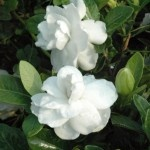 Gardenia Crown Jewel  Cold Hardy to 7, maybe to 6