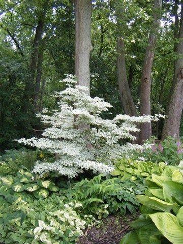 woodland garden (dogwood, hostas-- imitate along back border)