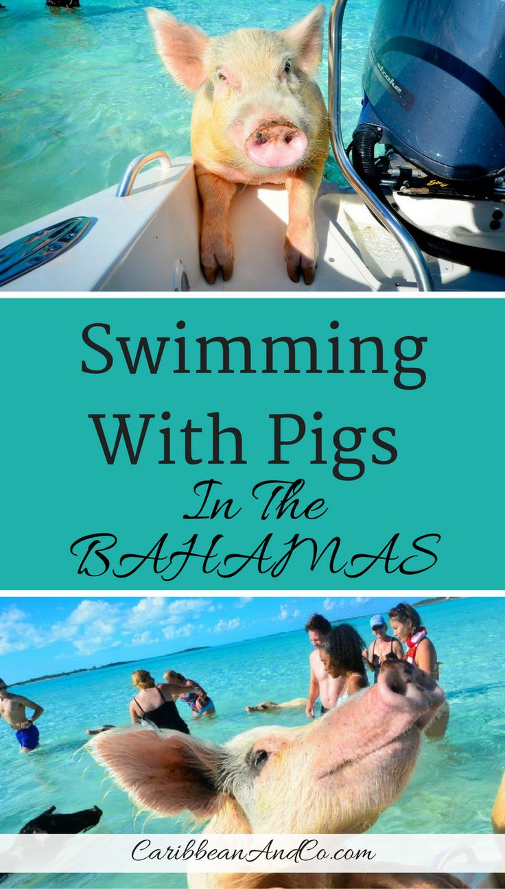 Find out how you can swim with about 20 pigs who live on Big Major Cay which is located in Exuma in The Bahamas.  These adorable and friendly pigs can often be seen swimming in the pristine, ocean waters around this beautiful and picturesque Caribbean island.  #Bahamas #CCBahamas