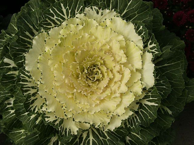 Ornamental Cabbage Plants Care | Growing Kale and Ornamental Cabbage from Seed.