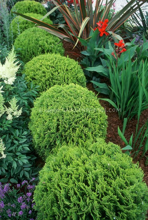 Thuja occidentalis 'Tiny Tim' dwarf growing arborvitae with Astilbe and Canna and Phormium in garden use