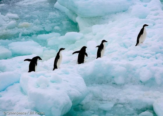 Todayis Penguin Awareness Day, so we thought we would celebrate with fiveamazing snapsof penguin species that live on Antarcticaand in its surrounding waters. 1. The humble Emperor.The largest of all penguins, the Emperor penguin is …