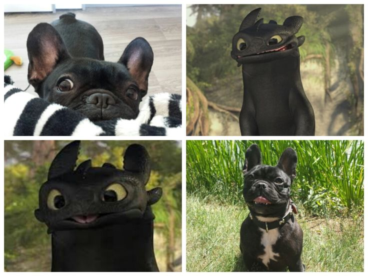 OMG! I never saw the connection. French Bulldog looks like the Black Dragon from 'How to Train your Dragon'.
