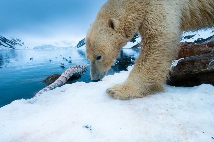 A large male polar bear returns to feed on a fin whale carcass. On land, where bears cannot hunt for seals, food is scarce and polar bears mainly depend on washed up marine mammals for food. Holmiabukta Bay, Northwestern Svalbard, Norway.