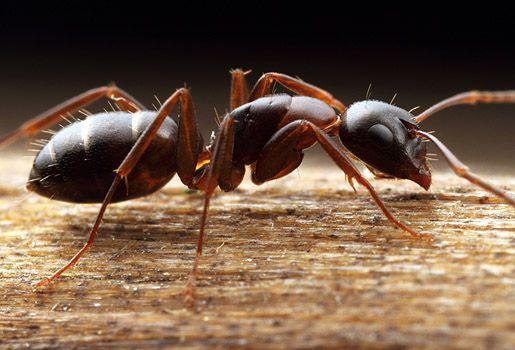 Avec le retour des jours plus longs, les fourmis charpentières commencent souvent à apparaître dans la maison… et ce n'est pas une bonne nouvelle! Si vous remarquez de grosses fourmis à la saison f...