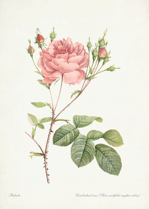 Redoute Roses  Cumberland Rose Wall Decor by HighStreetVintage, $14.00