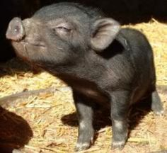 So, you're thinking about adopting or buying a pot belly pig? Well, before you make any definite decisions there is a lot to think about. In this hub I shall attempt to highlight some of the crucial areas you will need to consider before going out...