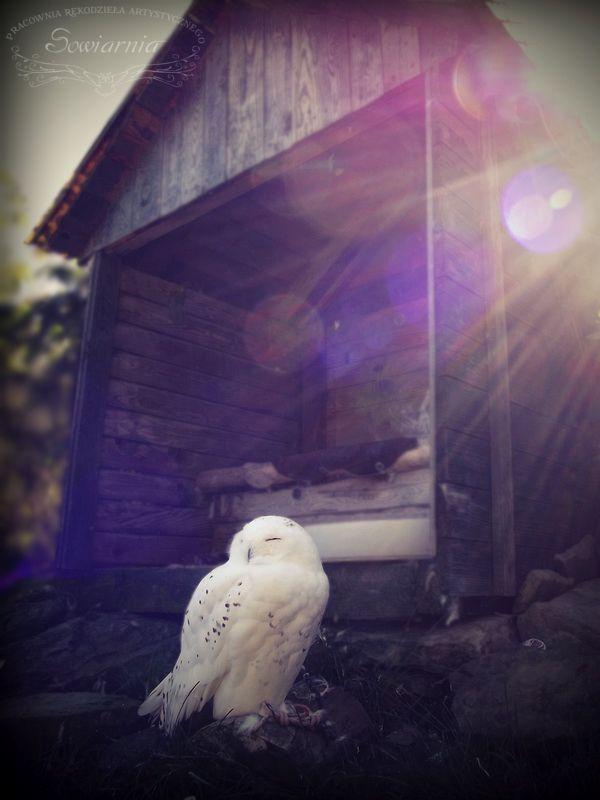 Sowa śnieżna / Snowy owl / Bubo scandiacus