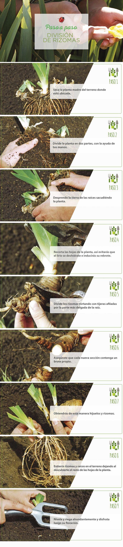 #Rizomas  #PasoApaso #Jardinería #Easy