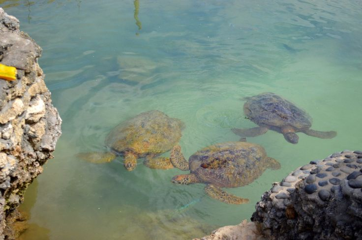 Marine Conservation Tour in Vila. 3 hungry turtles swimming up to enjoy their lunch.