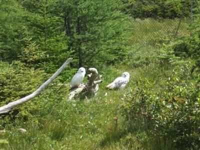 Snowy Owls - Salmonier Nature Park, Salmonier Newfoundland