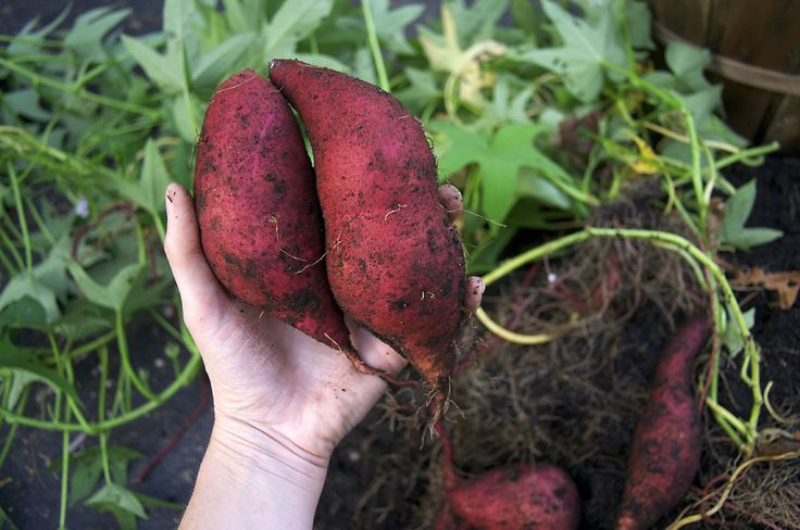 SWEET POTATOES IN BUSHEL BASKETS — a success!! Sweet potatoes may be the perfect crop for not-allowed vegetable gardens. The plants are lovely, with long, trailing vines and purple-tinged leaves. The late-summer flowers look like pale purple morning glories. unlike many vegetables, sweet potatoes continue to look glorious right until they're zapped by frost. A single plant will produce 1.5 – 2.5 pounds of edible roots. Outlaw Garden http://www.outlawgarden.com/2011/10/11/sweet-potatoes/