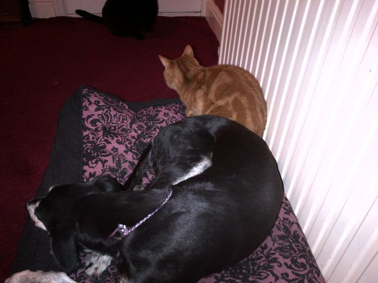 Lurcher and Cats Sky, Ginga and a little bit of Pandora