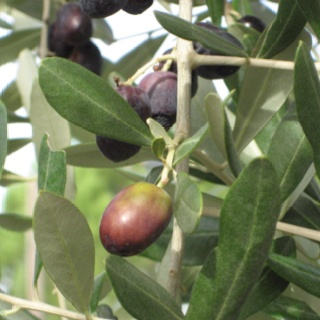 Soon to be olive oil: Olive Oils, Garden