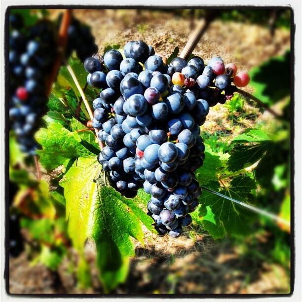 Il vitigno Erbanno #togni #Camonica #camuni #SanValentino2010 #erbanno #wine #Winelover » @robji_m » Instagram Profile » Followgram
