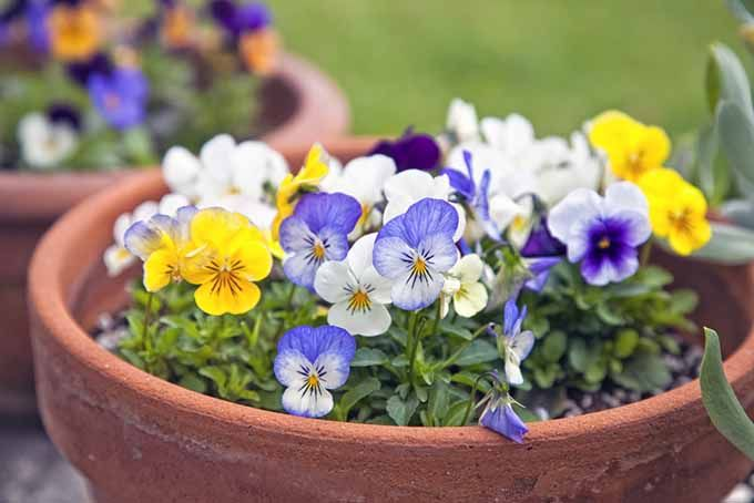 Johnny Jump-Ups in Container | GardenersPath.com