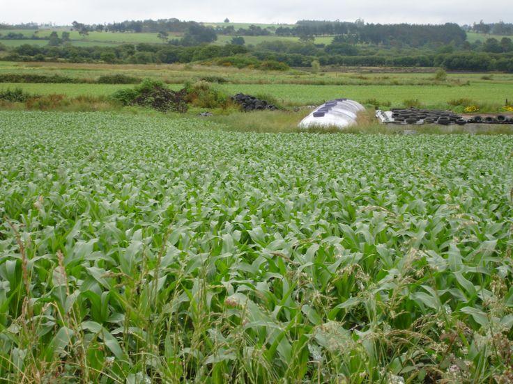 maíz en Galicia