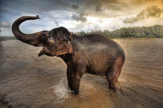 Asian or Asiatic elephant The Asian elephant is one that is very domesticated in a variety of ways. They seem to be less aggressive towards humans than the African elephants. They are used by humans daily for working purposes and treated very well.