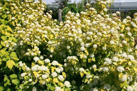 Blasenspiere / Gelbe Blasenspiere 'Dart's Gold' - Physocarpus opulifolius 'Dart's Gold'