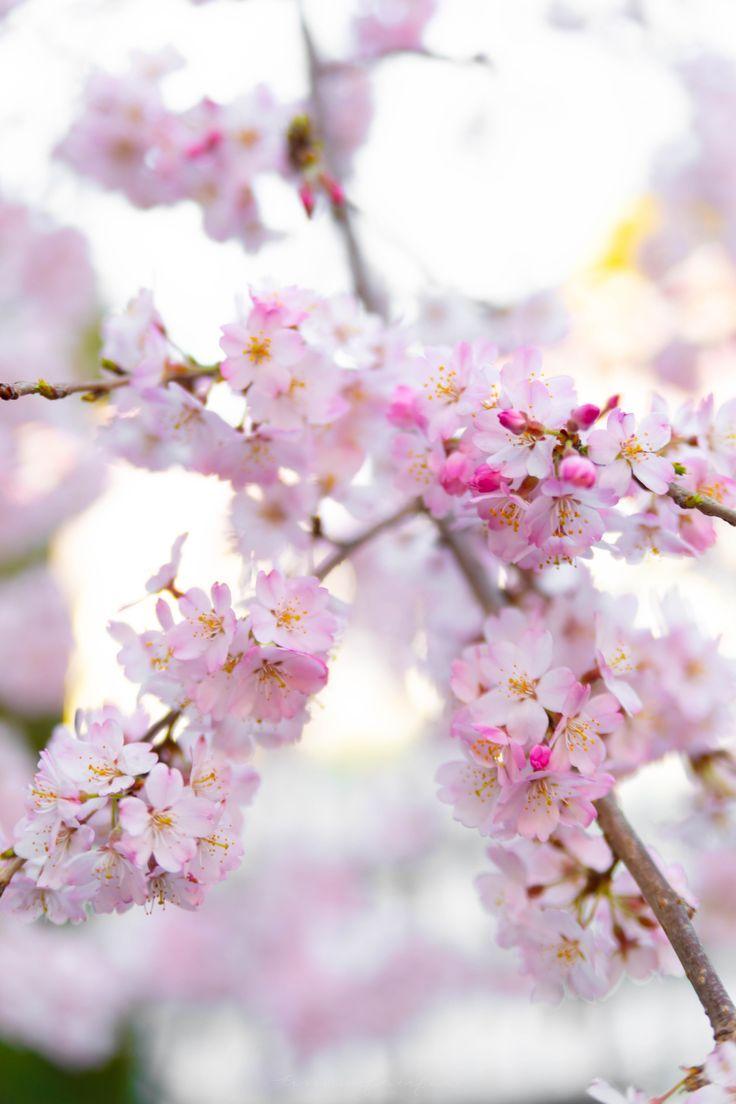 Chasing Cherry Blossoms In Japan Annie Fairfax Cherry Blossom Japan Pink Blossom Tree Cherry Blossom