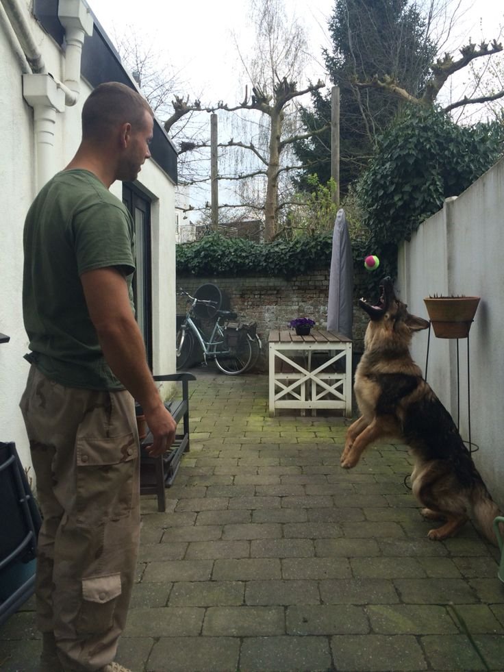 German shepherd - military - buma - duitse herder