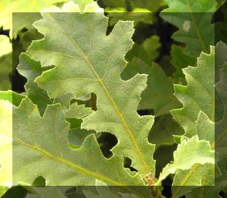Buy Oaks and Buy Plants Online - inexpensive bare root trees