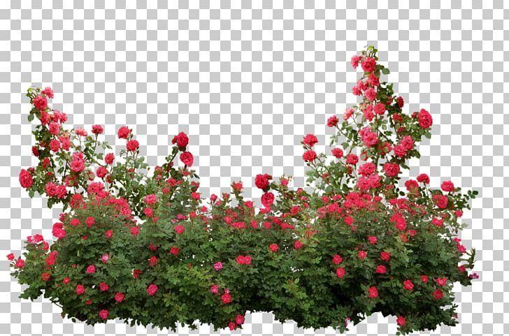 Garden Roses Memorial Rose Shrub Flower Png Annual Plant Branch Bridalwreaths Flower Flowering Plant Rose Flower Png White Flower Png Red Rose Png