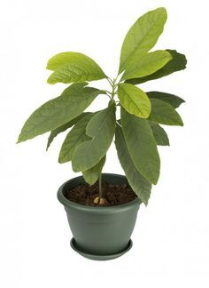 Avocado Houseplant Care: Information About Growing Avocados In Pots -  Many houseplants can be grown from staples found amongst the produce of your very own refrigerator. Carrots, potatoes, pineapple and even avocado all garner respectable houseplants. Take a look at how to grow an avocado houseplant indoors in this article.