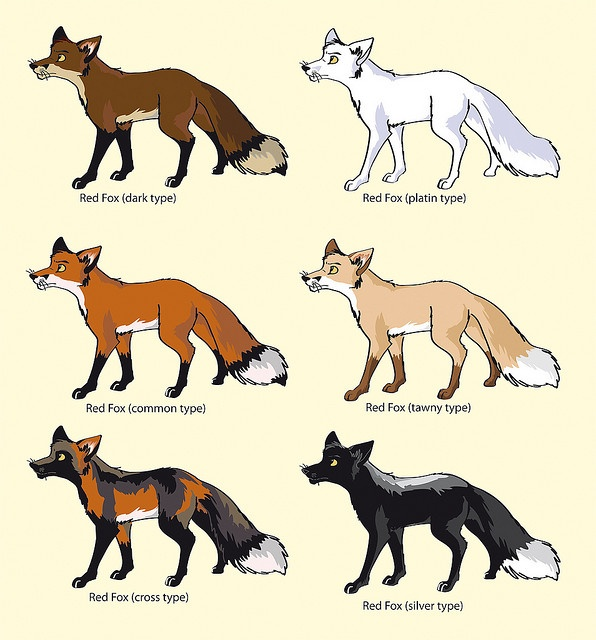17 Best Images About Red Fox Colour Variants On Pinterest