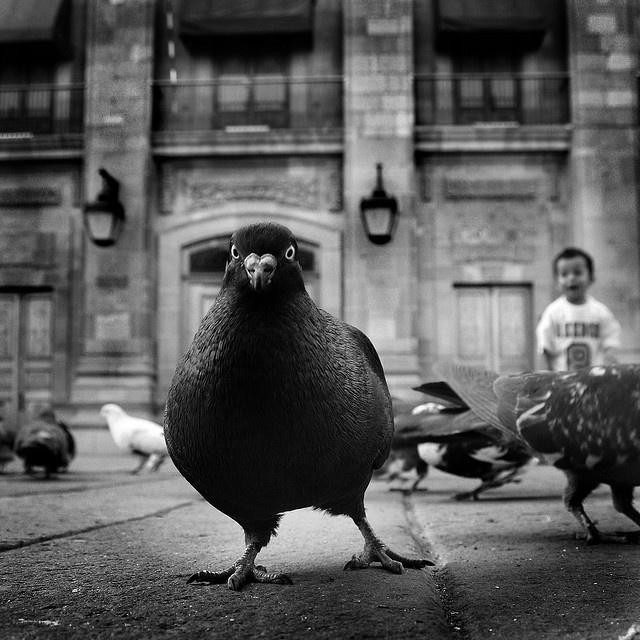 Картинка спорить с голубем