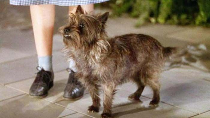 10 Most Famous Dogs In History Famous Dogs Toto Wizard Of Oz Dogs